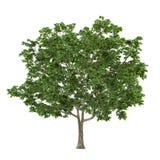 Tree isolated. Acer platanoides maple royalty free illustration