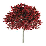 Tree isolated. Acer platanoides red Royalty Free Stock Photos