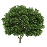 Tree isolated. Aesculus chestnut Royalty Free Stock Photography
