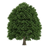 Tree isolated. Aesculus chestnut Royalty Free Stock Photo