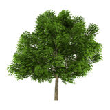 Tree isolated. Aesculus glabra Royalty Free Stock Photography