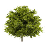 Tree isolated. Aesculus hippocastanum Royalty Free Stock Photography