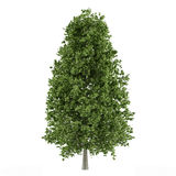 Tree isolated. Aesculus hippocastanum Royalty Free Stock Photo