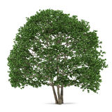 Tree isolated. Alnus Stock Photography