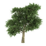 Tree isolated. Arbutus menziesii Stock Photos