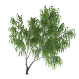 Tree isolated. Betula birch Stock Photo