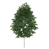 Tree isolated. Betula pendula Royalty Free Stock Images
