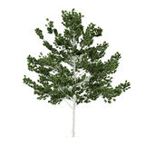 Tree isolated. Betula Stock Image