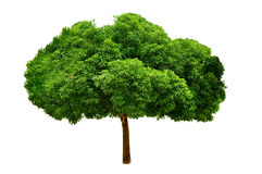 Tree with isolated Royalty Free Stock Image
