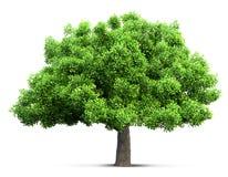 Tree isolated 3D illustration Royalty Free Stock Photos