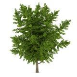 Tree isolated. Ginkgo biloba Royalty Free Stock Images