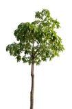Tree isolated Stock Image