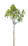 Tree isolated Royalty Free Stock Images
