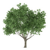 Tree isolated. Olea europaea Royalty Free Stock Images