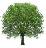 Tree isolated over white Royalty Free Stock Photography