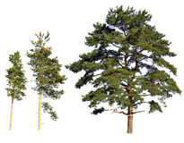 Tree isolated pines Royalty Free Stock Photos