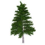 Tree isolated. Pinus fir-tree Royalty Free Stock Photo