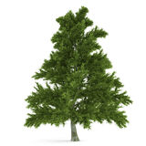 Tree isolated. Pinus fir-tree. At the white background Stock Images