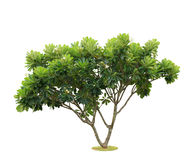 Tree isolated. Royalty Free Stock Image