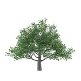 Tree isolated. Quercus robur Stock Photo