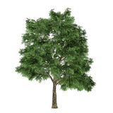 Tree isolated. Quercus Stock Photography