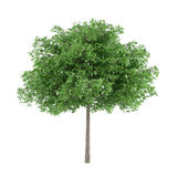 Tree isolated. Robina pseudoacacia Stock Image