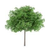 Tree isolated. Robina pseudoacacia Stock Image