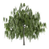 Tree isolated. Salix alba Stock Photography