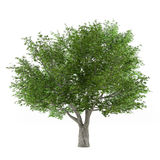 Tree isolated. Salix fragilis Royalty Free Stock Image