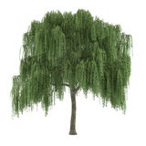 Tree isolated. Salix willow Royalty Free Stock Photo