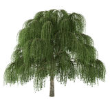 Tree isolated. Salix willow Stock Images