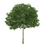 Tree isolated. Sorbus. See my other works in portfolio Stock Image