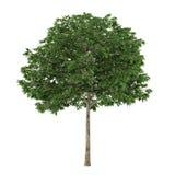 Tree isolated. Sorbus Stock Image