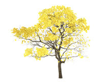 Tree isolated. Tabebuia chrysantha Stock Photography