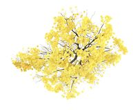 Tree isolated. Tabebuia chrysantha top Stock Photo