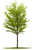 Tree isolated of Terminalia Royalty Free Stock Images