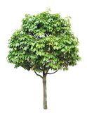 Tree isolated. On a white background royalty free stock image