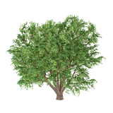 Tree isolated. Ulmus Campestris Stock Images