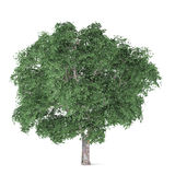Tree isolated. Ulmus. See my other works in portfolio Stock Images