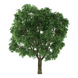 Tree isolated. Ulmus. See my other works in portfolio Royalty Free Stock Photo