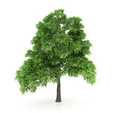 Tree isolated on a white Stock Image