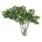 Tree isolated on a white Royalty Free Stock Image