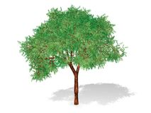 Tree isolated in white Royalty Free Stock Photography