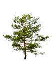 Tree isolated on white Royalty Free Stock Photography