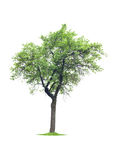 Tree isolated on white Stock Photos
