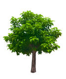 Tree isolated on the white background Stock Photography