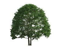 Tree isolated on a white background Royalty Free Stock Images