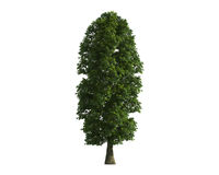 Tree isolated on a white background Royalty Free Stock Image
