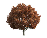 Tree isolated on a white background Royalty Free Stock Photo
