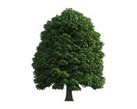 Tree isolated on a white background Stock Photography